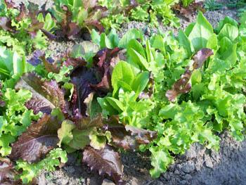 rote und grüne Salatpflanzen